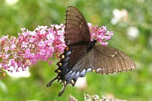 Swallowtail Butterfly, Pinckney Recreation Area, Michigan, U.S.A.