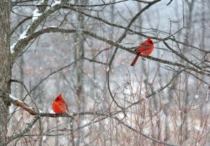 Cardinals, Kensington Metro Park, Michigan