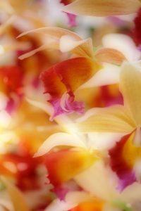 Daffodils, Atlanta Botanical Gardens
