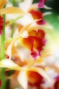 Daffodil, Atlanta Botanical Gardens