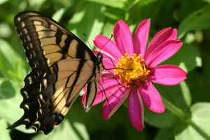 Butterfly, Cranbrook Gardens