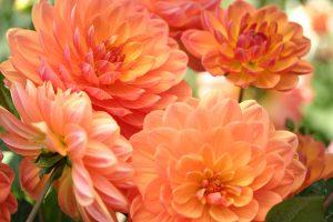 Dahlias, San Francisco Conservatory of Flowers