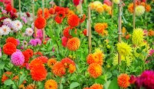 Dahlia Garden, San Francisco Conservatory of Flowers